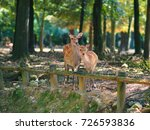 japan's famous nara deer. sika... | Shutterstock . vector #726593836