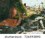 japan's famous nara deer. sika... | Shutterstock . vector #726593890