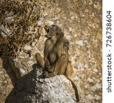 chacma baboon in kruger... | Shutterstock . vector #726738604