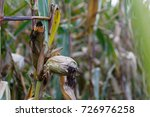 a ripening stalk of maize in a... | Shutterstock . vector #726976258