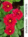 dahlia flower | Shutterstock . vector #726993196