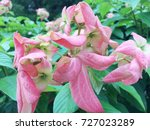 mussaenda pink color flower.  | Shutterstock . vector #727023289