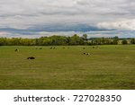 dairy cows are out to pasture ... | Shutterstock . vector #727028350