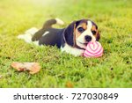 Stock photo little beagle playing with ball in garden 727030849