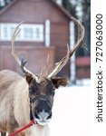 Small photo of reindeer alive with horns