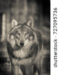 Scary Dark Gray Wolf  Canis...