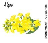 rapeseed  brassica napus  rape  ...   Shutterstock .eps vector #727100788