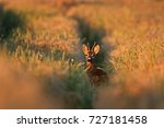 european roe deer  capreolus... | Shutterstock . vector #727181458