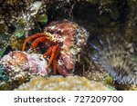 Small photo of Acanthemblemaria spinosa, spinyhead blenny at night in flowering hard coral