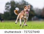 picture of a hybrid dog who... | Shutterstock . vector #727227640