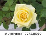 beautiful rose yellow flowers. | Shutterstock . vector #727228090