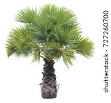 young betel palm on isolate...   Shutterstock . vector #727260700