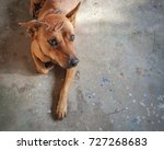brown dog with a leaf on his... | Shutterstock . vector #727268683