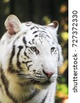 white tiger head as very nice... | Shutterstock . vector #727372330