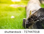asian lizard come out on the... | Shutterstock . vector #727447018