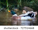 mallard  wild duck  swimming in ... | Shutterstock . vector #727514668
