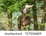 Female Moose  Alces Alces ...