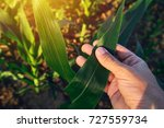 agronomist examining corn maize ... | Shutterstock . vector #727559734
