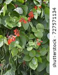 Small photo of Flowering Runner Beans St. George in an allotment