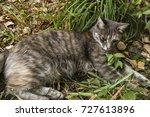 Grey Cat On Green Grass. Green...