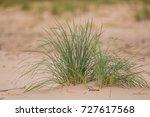 A Green Seaside Grass Growing...
