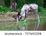 Reindeer Drinks Water From The...