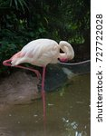Small photo of Flamingo bird standing resting preening to tidy and clean its feathers with its beak in shallow pond