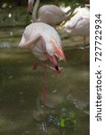 Small photo of Flamingo birds standing resting preening to tidy and clean its feathers with its beak in shallow pond