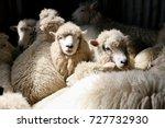 romney sheep in shearing shed ...