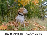 Stock photo beagle dog for a walk in the woods on a background of yellow autumn foliage 727742848