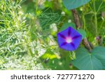 ipomoea purpurea morning glory... | Shutterstock . vector #727771270