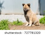 non pedigree fawn colored puppy ... | Shutterstock . vector #727781320