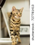 bengal cat breed at the age of... | Shutterstock . vector #727781413