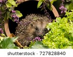 hedgehog  wild  native european ... | Shutterstock . vector #727828840