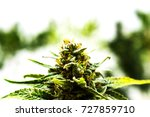 cannabis marijuana pot or weed... | Shutterstock . vector #727859710