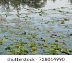 soothing lily pad covered lake | Shutterstock . vector #728014990