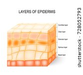 layers of epidermis  cornified  ...   Shutterstock .eps vector #728052793