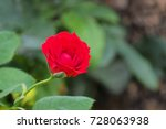 red miniature rose   Shutterstock . vector #728063938