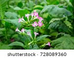 Small photo of Tobacco flowers on tobacco field plantation