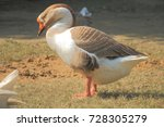 drowsy goose just about to... | Shutterstock . vector #728305279