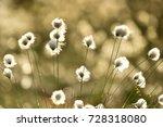 Eriophorum  Cottongrass  Cotto...