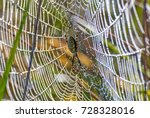 Black And Yellow Argiope ...