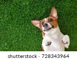 crazy smiling dog jack russel...   Shutterstock . vector #728343964