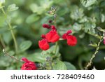 Small photo of Red flowers of a garden autumn sage (Salvia greggii)