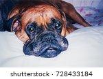 Stock photo russia saint petersburg circa vintage photo of boxer dog portrait 728433184