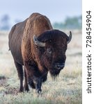 Small photo of American Bison on the Colorado Plains