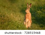Stock photo european hare stands in the grass and looking at the camera 728515468