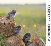 Three Little Owls Sitting On...
