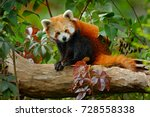 Beautiful Red Panda Lying On...