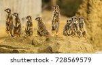 meerkat line   Shutterstock . vector #728569579
